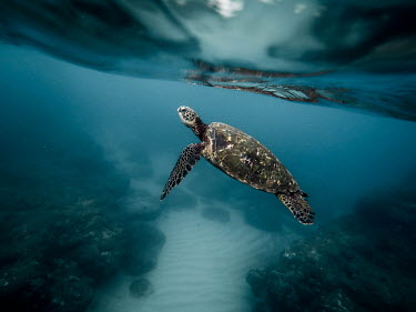 Green turtle swimming over coral reef marine,marine life,sea,sea life,ocean,oceans,water,underwater,aquatic,sea turtle,sea turtles,turtle,turtles,shell,reptile,reptiles,close up,carapace,flipper,flippers,reef,reef life,shallow focus,swimm
