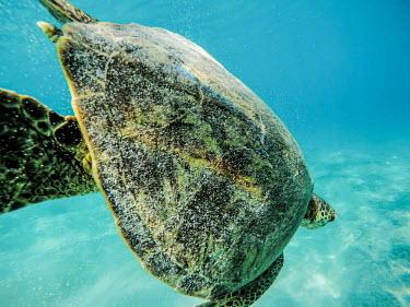 Green turtle diving to the sea bed marine,marine life,sea,sea life,ocean,oceans,water,underwater,aquatic,sea turtle,sea turtles,turtle,turtles,shell,reptile,reptiles,close up,carapace,swimming,swim,Green turtle,Chelonia mydas,Chordates
