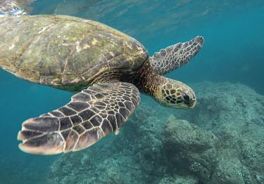 Green turtle swimming over rocks marine,marine life,sea,sea life,ocean,oceans,water,underwater,aquatic,sea turtle,sea turtles,turtle,turtles,shell,reptile,reptiles,close up,carapace,flipper,flippers,face,claws,reef,reef life,swimming