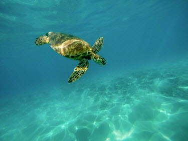 Green turtle diving to the sea bed marine,marine life,sea,sea life,ocean,oceans,water,underwater,aquatic,sea turtle,sea turtles,turtle,turtles,shell,reptile,reptiles,blue,swimming,flipper,flippers,swim,Green turtle,Chelonia mydas,Chord