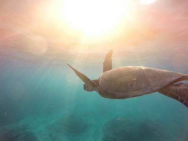 Green turtle swimming over coral reef with beams of sunlight marine,marine life,sea,sea life,ocean,oceans,water,underwater,aquatic,sea turtle,sea turtles,turtle,turtles,shell,reptile,reptiles,close up,carapace,flipper,flippers,reef,reef life,shallow focus,sunli