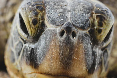 Close up of a green turtle's face marine,marine life,sea,sea life,ocean,oceans,aquatic,sea turtle,sea turtles,turtle,turtles,reptile,reptiles,face,close up,macro,beak,mouth,nose,nostrils,head,Green turtle,Chelonia mydas,Chordates,Chor