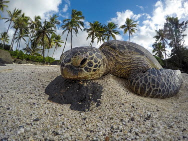 Green turtle on a beach marine,marine life,sea,sea life,ocean,oceans,aquatic,sea turtle,sea turtles,turtle,turtles,reptile,reptiles,face,close up,macro,beak,mouth,nose,nostrils,head,coast,coastal,beach,tide,surf,tired,sleepy