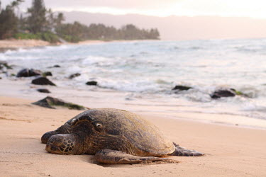 Green turtle on a beach marine,marine life,sea,sea life,ocean,oceans,aquatic,sea turtle,sea turtles,turtle,turtles,shell,reptile,reptiles,coast,coastal,beach,tide,surf,tired,sleepy,nesting,journey,carapace,tropical,sleeping,