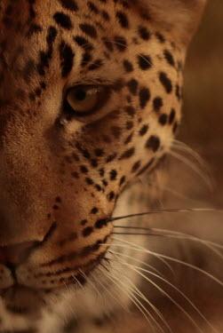 Portrait of a leopard cat,cats,feline,felidae,predator,carnivore,big cat,big cats,apex,vertebrate,mammal,mammals,terrestrial,Africa,African,savanna,savannah,safari,eye,eyes,whiskers,snout,face,close up,shallow focus,portra