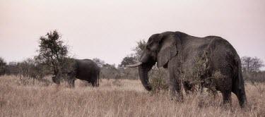 Two African elephants grazing mastodon,mastodons,mammoth,mammoths,elephant,elephants,herbivores,herbivore,vertebrate,mammal,mammals,terrestrial,Africa,African,savanna,savannah,safari,tusk,tusks,grazing,graze,grassland,sepia,Africa