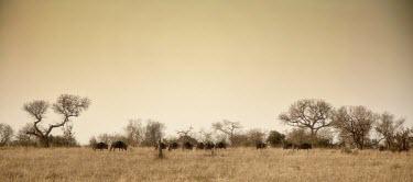 A herd of blue wildebeest passing a treeline herbivores,herbivore,vertebrate,mammal,mammals,terrestrial,Africa,African,savanna,savannah,safari,cattle,ungulate,bovine,wildebeest,herd,group,landscape,negative space,grassland,wildebeests,Blue wilde
