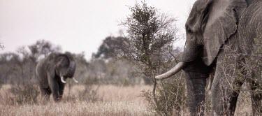 Two African elephants grazing mastodon,mastodons,mammoth,mammoths,elephant,elephants,herbivores,herbivore,vertebrate,mammal,mammals,terrestrial,Africa,African,savanna,savannah,safari,tusk,tusks,shallow focus,sepia,African elephant