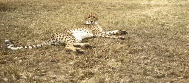 A cheetah resting on the ground cat,cats,feline,felidae,predator,carnivore,big cat,big cats,apex,vertebrate,mammal,mammals,terrestrial,Africa,African,savanna,savannah,safari,pattern,patterned,spots,looking at camera,relax,relaxing,n