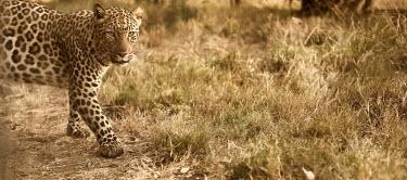 Leopard walking cat,cats,feline,felidae,predator,carnivore,big cat,big cats,apex,vertebrate,mammal,mammals,terrestrial,Africa,African,savanna,savannah,safari,pattern,patterned,camouflage,negative space,Leopard,Panthe