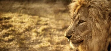 Portrait of a male lion cat,cats,feline,felidae,predator,carnivore,big cat,big cats,lions,apex,vertebrate,mammal,mammals,terrestrial,Africa,African,savanna,savannah,male,mane,portrait,face,close up,shallow focus,negative spa