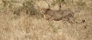 Cheetah walking through the grass cat,cats,feline,felidae,predator,carnivore,big cat,big cats,apex,vertebrate,mammal,mammals,terrestrial,Africa,African,savanna,savannah,safari,pattern,patterned,spots,looking at camera,grassland,Cheeta
