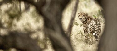 Cheetah walking through the grass looks back at the camera cat,cats,feline,felidae,predator,carnivore,big cat,big cats,apex,vertebrate,mammal,mammals,terrestrial,Africa,African,savanna,savannah,safari,pattern,patterned,spots,looking at camera,shallow focus,Ch