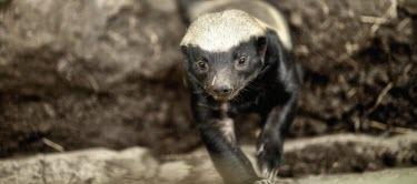 A honey badger investigating the camera badger,carnivore,vertebrate,mammal,mammals,terrestrial,Africa,African,savanna,savannah,claws,face,snout,looking at camera,fierce,negative space,nose,forager,close up,shallow focus,Honey badger,Mellivo