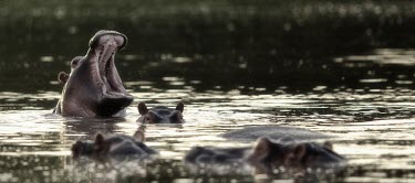 Hippopotamus yawning hippo,hippos,herbivores,herbivore,vertebrate,mammal,mammals,terrestrial,Africa,African,savanna,savannah,safari,semi-aquatic,amphibious mammal,amphibious,mouth,yawn,yawning,lake,river,rivers and stream