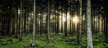 Evening sun light streaming through woodland woodland,woods,trees,tree,flora,pine,pine forest,forest,forests,sun,sunlight,rays,sunshine,evening,landscape,habitat,green,wood,habitats