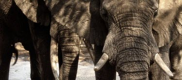 Close up of elephant at a waterhole mastodon,mastodons,mammoth,mammoths,elephant,elephants,herbivores,herbivore,vertebrate,mammal,mammals,terrestrial,Africa,African,savanna,savannah,safari,water hole,tusk,tusks,trunk,face,portrait,water