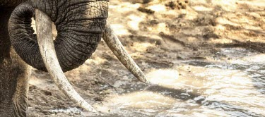 Close up of an elephants trunk and tusks mastodon,mastodons,mammoth,mammoths,elephant,elephants,herbivores,herbivore,vertebrate,mammal,mammals,terrestrial,Africa,African,savanna,savannah,safari,water hole,drinking,drink,tusk,tusks,trunk,Afri