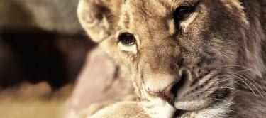 Close up of a lion resting cat,cats,feline,felidae,predator,carnivore,big cat,big cats,lions,vertebrate,mammal,mammals,terrestrial,Africa,African,savanna,savannah,safari,relax,relaxing,nap,rest,resting,lying,face,close up,portr