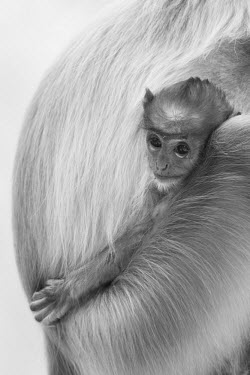 monkey,monkeys,primate,primates,langur,shallow focus,baby,child,young,juvenile,mother and child,cute,black and white,face,close up,portrait,grey langur,Gray langur,Semnopithecus hector,Chordates,Chord