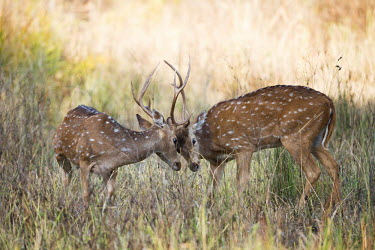 herbivores,herbivore,vertebrate,mammal,mammals,terrestrial,ungulate,deer,ruminant,spotted deer,horned,horns,grass,field,shallow focus,head butt,head butting,behaviour,male,males,aggression,Chital,Axis