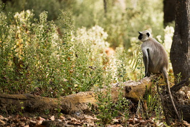 monkey,monkeys,primate,primates,langur,tail,shallow focus,tree,sitting,forest,woodland,flora,grey langur,thinking,thoughtful,Gray langur,Semnopithecus hector,Chordates,Chordata,Primates,Old World Monk