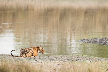 predator,carnivore,hunter,tiger,big cat,big cats,cat,cats,feline,felidae,stripes,stripy,camouflage,pattern,patterned,river,lake,water,drinking,thirsty,negative space,Tiger,Panthera tigris,Carnivores,C