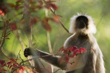 monkey,monkeys,primate,primates,arboreal,langur,tail,shallow focus,tree,sitting,green background,leaves,vegetation,portrait,face,hair,grey langur,negative space,flowers,langurs,Gray langur,Semnopithec