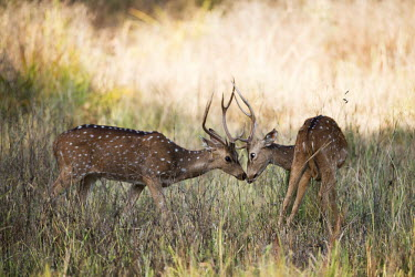 herbivores,herbivore,vertebrate,mammal,mammals,terrestrial,ungulate,deer,ruminant,spotted deer,horned,horns,grass,field,shallow focus,sniffing,males,male,Chital,Axis axis,Chordates,Chordata,Mammalia,M
