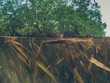 Enhalus acroides sea grass next to mangroves sea,seagrass,sea grass,grass,shallows,water,sea life,pasture,food,ecosystem,environment,habitat,nursery,tropical,coastal,coast,plant,plants,plantlife,plantae,flora,marine,photosynthetic,photosynthesis