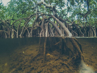 The edge of a mangrove showing roots into the sea floor shallows,water,sea life,pasture,food,ecosystem,environment,habitat,nursery,tropical,coastal,coast,plant,plants,plantlife,plantae,flora,marine,photosynthetic,photosynthesis,mangrove,mangroves,prop root