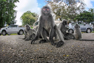 Silvered leaf monkeys sat in road monkey,monkeys,primates,group,road,on ground,looking into camera,face,cheeky,Silvered leaf monkey,Trachypithecus cristatus,Old World Monkeys,Cercopithecidae,Mammalia,Mammals,Chordates,Chordata,Primate