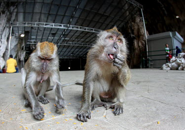 Crab-eating macaque at tourist attraction people,humans,tourists,tourist,tourism,monkey,monkeys,primates,primate,macaques,eating,feeding,mouth,Crab-eating macaque,Macaca fascicularis,Mammalia,Mammals,Chordates,Chordata,Primates,Old World Monk