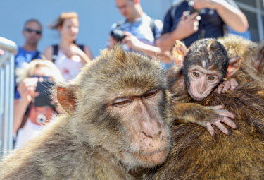 Barbary macaque with baby in tourist attraction macaque,macaques,monkey,monkeys,baby,cute,tourist,tourism,primate,primates,mother,parent,humans,human,people,Barbary macaque,Macaca sylvanus,Primates,Old World Monkeys,Cercopithecidae,Mammalia,Mammals