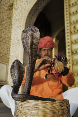 Snake charmer with two Indian cobras in striking pose snake,snakes,snake charming,animal welfare,tourism,tourist attraction,cruel,cruelty,snake charmer,animal entertainment,Indian cobra,Naja naja,Elapidae,Elapids,Chordates,Chordata,Reptilia,Reptiles,Squa