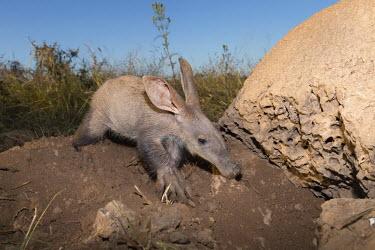 Aardvark at burrow dig,digging,burrow,close-up,face,head,snout,ground,Aardvark,Orycteropus afer,Mammalia,Mammals,Orycteropodidae,Aardvarks,Chordates,Chordata,Tubulidentata,Aardvarks or Ant Bears,Ant bear,Oryct�rope,Anim