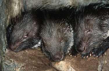Young porcupines sleeping,young,sleep,baby,juvenile,snoozing,lazy,tired,babies,porcupines,Cape porcupine,Hystrix africaeaustralis,Cape Porcupine,Hystricidae,Chordates,Chordata,Mammalia,Mammals,Rodents,Rodentia,IUCN Re