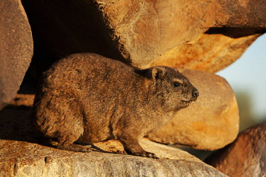 Rock hyrax keeping watch at sentry Rock Hyrax,dassie,mammal,animal,animals,outdoors,Namibia,Africa,Southern Africa,rocks,daytime,Hyrax,close-up view,cute,rock,rodent,wildlife,South Africa,sunset,Procavia capensis,Rock hyrax,Hyraxes,Pro