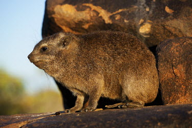 Rock hyrax keeping watch at sentry Rock Hyrax,dassie,mammal,animal,animals,Namibia,Africa,Southern Africa,rocks,daytime,Hyrax,close-up view,cute,rock,rodent,wildlife,South Africa,Procavia capensis,Rock hyrax,Hyraxes,Procaviidae,Chordat