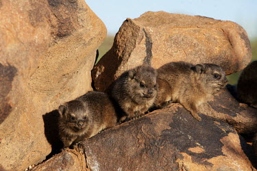 Young rock hyraxes Rock Hyrax,dassie,mammal,animal,animals,outdoors,Namibia,Africa,Southern Africa,rocks,daytime,Hyrax,close-up view,cute,rock,rodent,wildlife,South Africa,babies,baby,young,juvenile,Procavia capensis,Ro