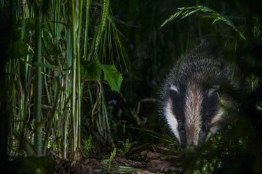 European badger searching for food on farmland badger,mustelid,mustelids,mammal,mammals,vertebrate,vertebrates,terrestrial,fur,stripes,striped,stripy,nocturnal,foraging,forage,Meles meles,Badger,Carnivores,Carnivora,Mammalia,Mammals,Chordates,Chor