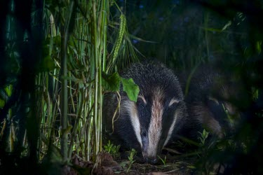 Two European badgers searching for food on farmland badger,mustelid,mustelids,mammal,mammals,vertebrate,vertebrates,terrestrial,fur,stripes,striped,stripy,nocturnal,foraging,forage,Meles meles,Badger,Carnivores,Carnivora,Mammalia,Mammals,Chordates,Chor