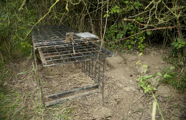 A cage trap is placed to catch a badger for bovine TB vaccination badger trap,trap,UK,conflict,peanuts,food,bait,lure,peanut,nut,nuts,man,human,cage,BTB,bovine tb,tuberculosis,agriculture,Badger,Meles meles,Carnivores,Carnivora,Mammalia,Mammals,Chordates,Chordata,We
