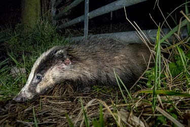 Badger with injuries moving from a nature reserve to farmland badger,mustelid,mustelids,mammal,mammals,vertebrate,vertebrates,terrestrial,fur,stripes,striped,stripy,nocturnal,wound,injured,injury,Meles meles,Badger,Carnivores,Carnivora,Mammalia,Mammals,Chordates