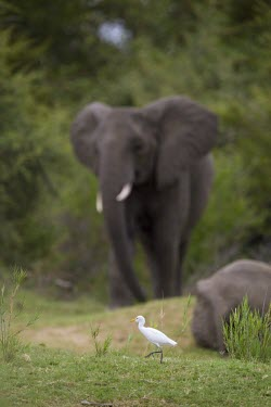 Cattle egret walking in front of a herd of African elephants egret,wading,wader,long legs,long legged,wetland,coastal,bird,birds,birdlife,avian,aves,Africa,elephant,African elephant,mastodon,mastodons,mammoth,Cattle egret,Bubulcus ibis,Ciconiiformes,Herons Ibis