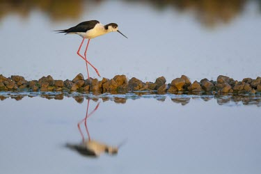 Black-winged stilt is reflected in the water of salt flats male,yellow,wings,wing,winged,wingspan,aerial,nest,nesting,nest building,display,home,action,colour,shallow focus,Aves,Passeriformes,Ploceidae,Ploceus intermedius,Lesser masked weaver,Himantopus himan