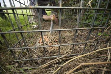 A cage trap is placed to catch a badger for bovine tuberculosis vaccination badger trap,trap,UK,conflict,peanuts,food,bait,lure,peanut,nut,nuts,man,human,cage,BTB,bovine tb,tuberculosis,agriculture,Badger,Meles meles,Carnivores,Carnivora,Mammalia,Mammals,Chordates,Chordata,We