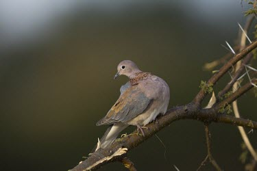 A laughing dove preens itself in an acacia tree dove,bird,peach,grey,plumage,shallow focus,branch,perch,perched,perching,looking at camera,face,profile,passerine,Laughing dove,Spilopelia senegalensis,Stigmatopelia senegalensis,Pigeons, Doves,Columb
