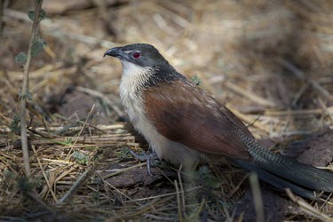 A sub-adult Burchell's coucal foraging in leaf litter Animalia,Chordata,Aves,Cuculiformes,Cuculidae,Centropus,Centropus superciliosus burchellii,Burchell's coucal,coucal,bird,birds,birdlife,avian,red eye,Centropus Burchellii