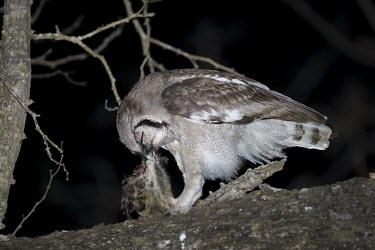 A giant eagle owl feeds on a genet at night in riverine woodland Strigidae,Tytonidae,owl,owls,bird of prey,birds of prey,predator,talons,carnivore,hunter,night,prey,eating,feeding,food,dinner,Giant eagle-owl,Bubo lacteus,Verreaux's eagle-owl,Owls,Strigiformes,True